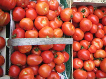 Récolte exceptionnelle de tomates